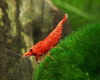 Fire Red Neocaridina Shrimp on moss